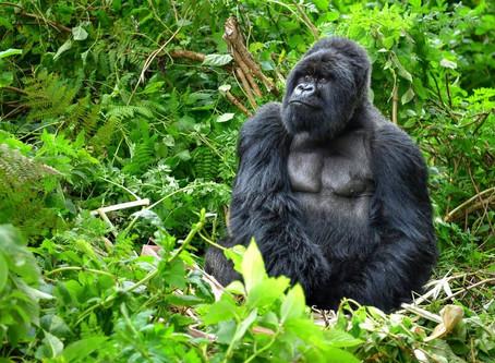 チンパンジー・ゴリラ・猿で違いを比べてみた!