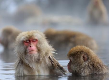 世界唯一!?温泉に入る猿のヒミツ