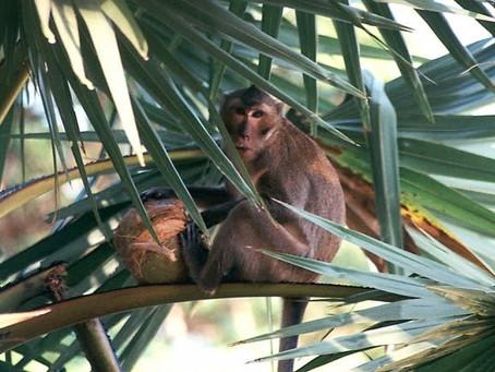 カニを食べる珍しい猿?カニクイザルの生態や習性について解説!