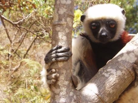 べローシファカってどんな猿?生態や特徴を紹介