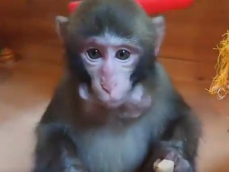 食欲の秋!美味しそうに食べる猿たちの癒し動画集
