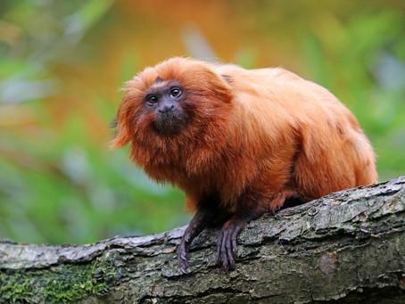 日本でたった2頭の黄金の猿!ゴールデンライオンタマリンについて解説