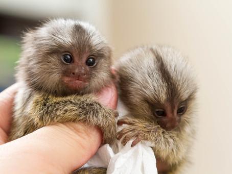 可愛くて、ペットにしたい!さるの種類と飼育の注意点