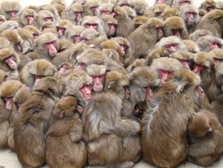 冬の猿はどう過ごす?面白い暖の取り方をする猿たち