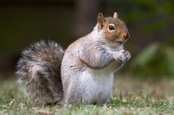 eastern_graysquirrel.jpg