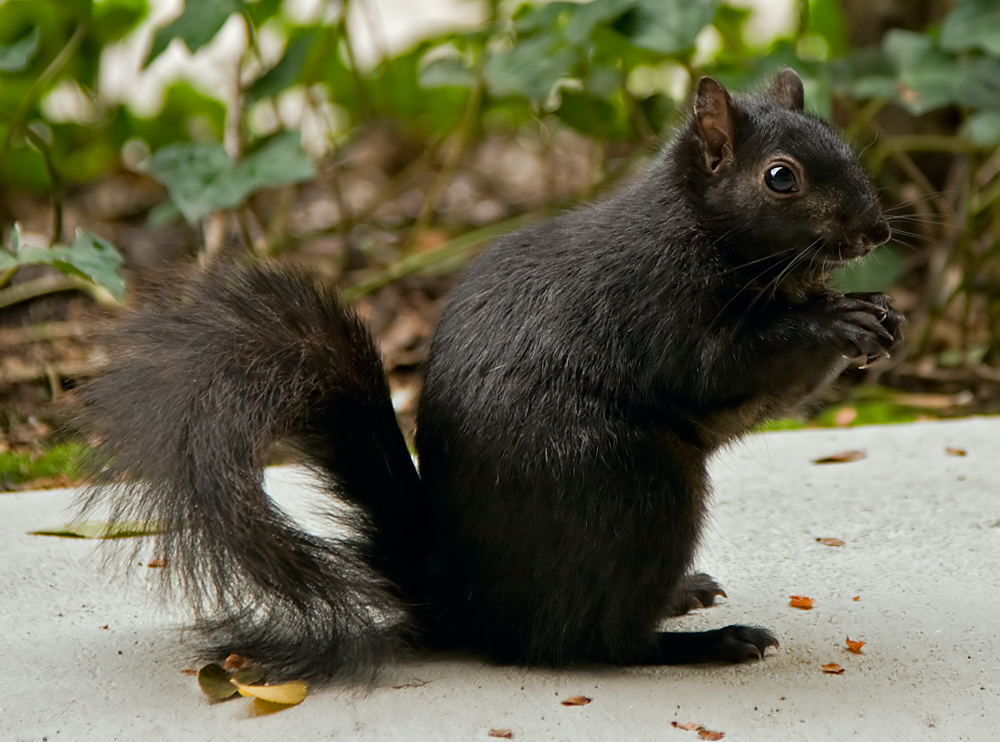 Black_squirrel.jpg