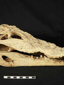 Nile Crocodile skull before treatment