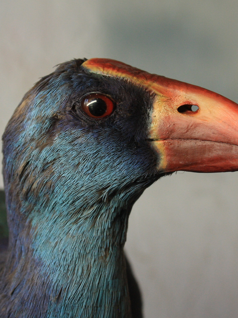 Purple Swamphen taxidermy after treatment