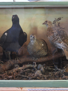 Black Grouse diorama before treatment