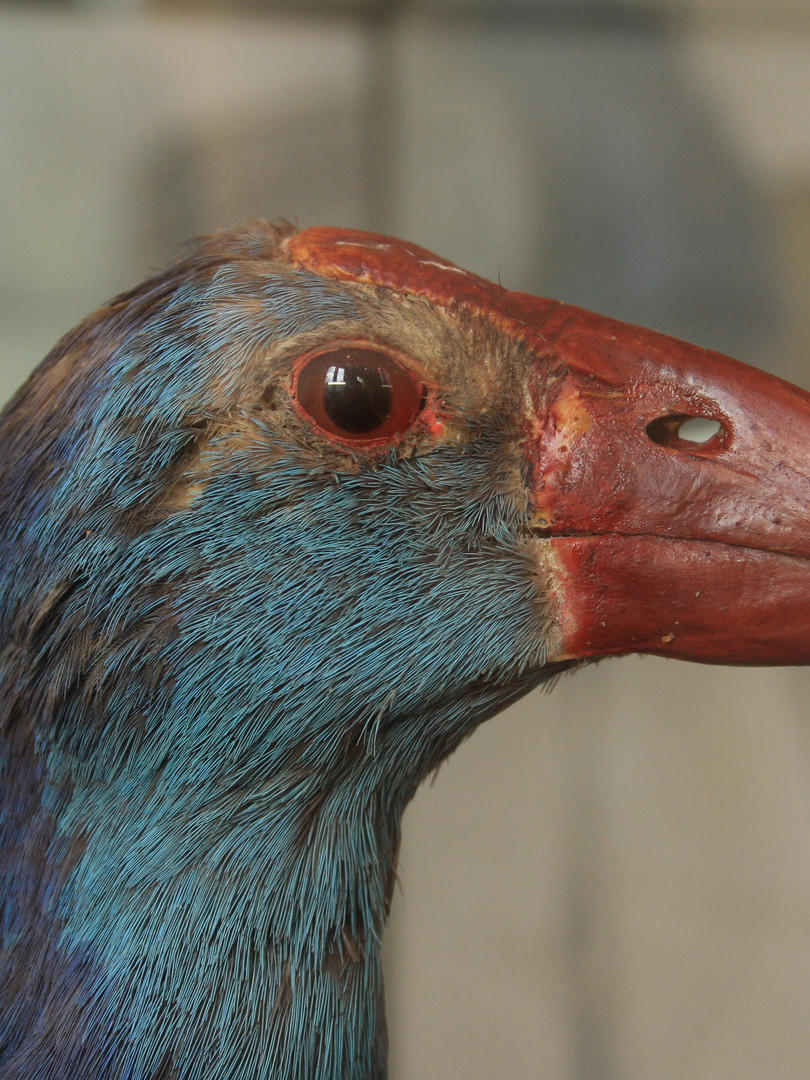 Purple Swamphen taxidermy before treatment
