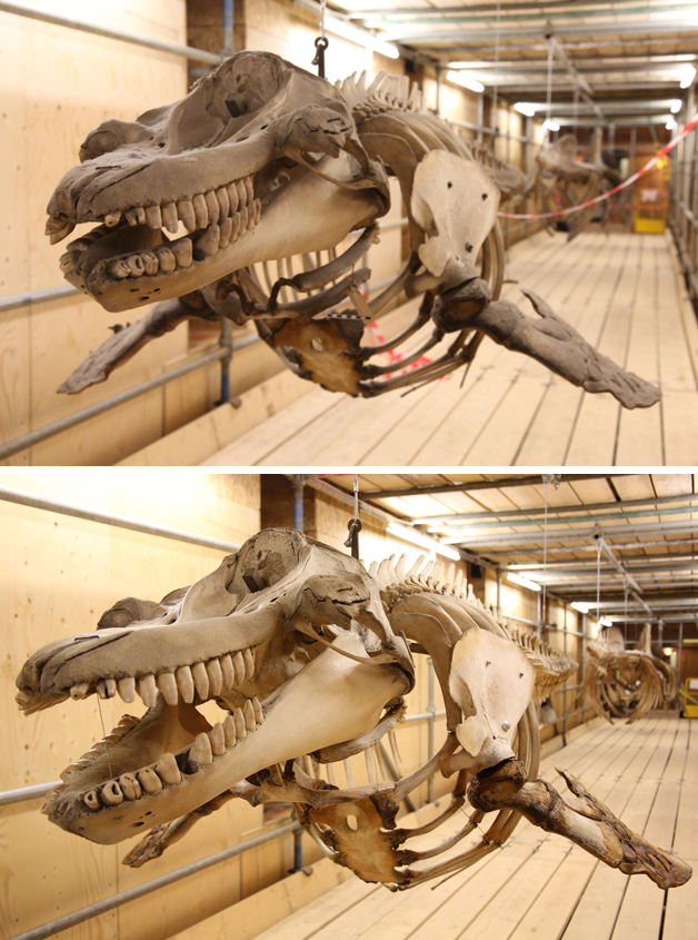 Orca specimen before and after treatment