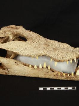 Nile Crocodile skull with new teeth