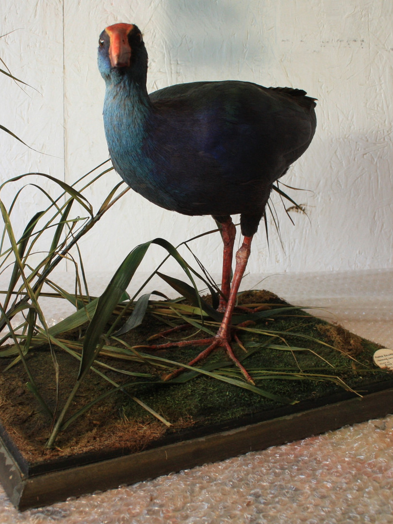 Purple Swamphen diorama after treatment