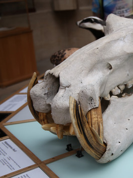Hippo skull with replica ivory tusks, carved to fit and secured with conservation-grade materials