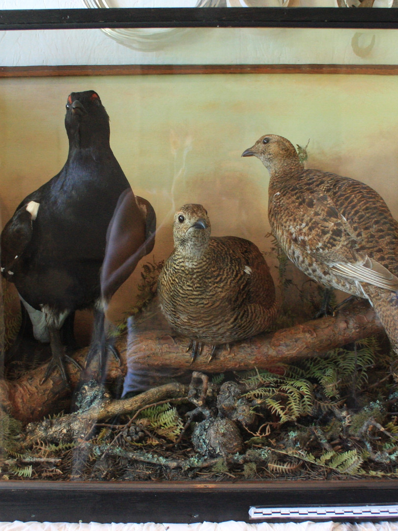 Black Grouse diorama after treatment