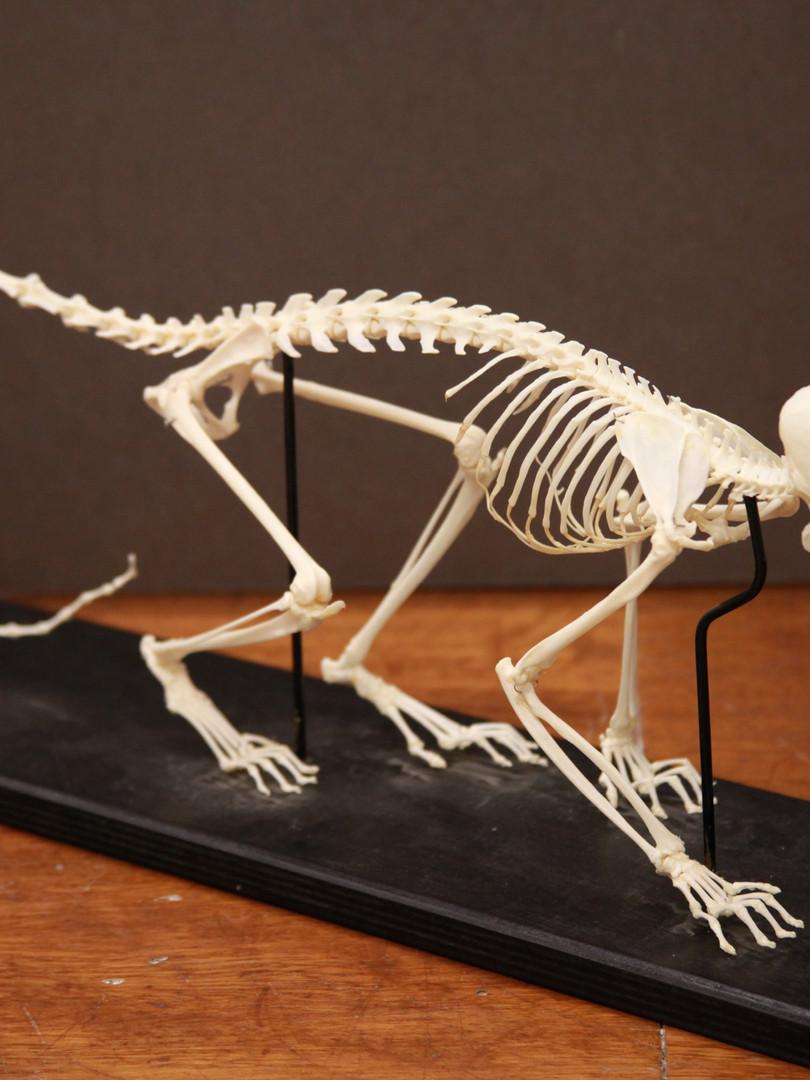 Spider monkey skeleton before rearticulation
