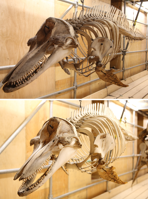 Dolphin specimen before and after treatment
