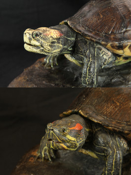 Red Slider Turtle taxidermy, before and after restoration