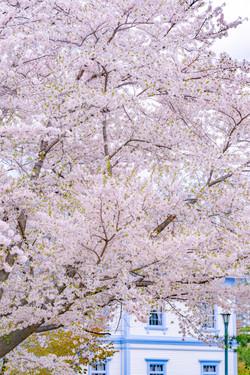 中島公園のソメイヨシノ