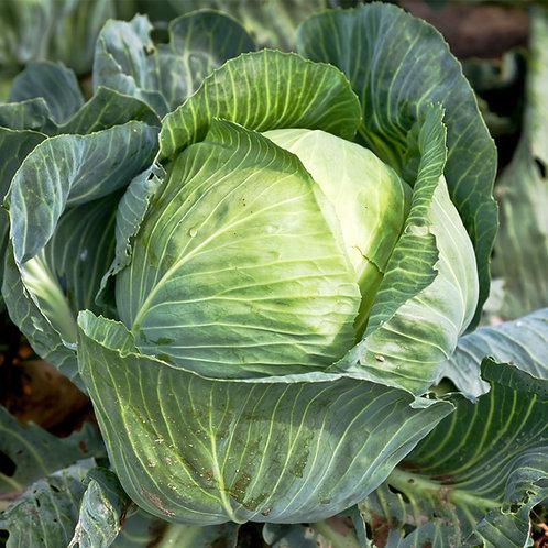 Green Cabbage, Organic
