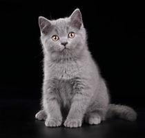 cute-british-kitten-on-black-260nw-48514
