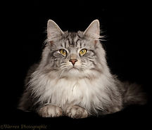 45850-Silver-tabby-cat-lying-with-head-u