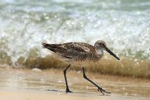 Sandpiper on the beach at Bigbury-on-Sea