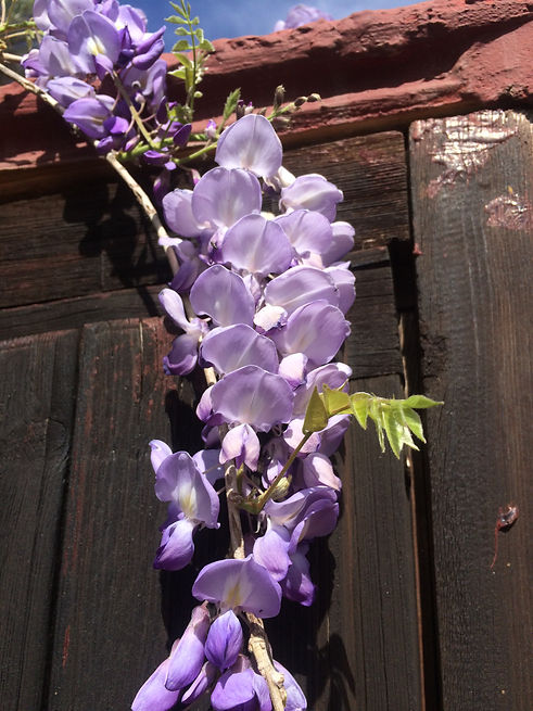 Beautiful Wysteria growing on rustic building