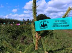 pot grown spruce.jpg