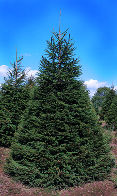 spruce big.jpg