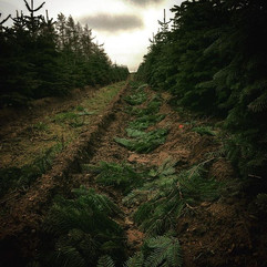 Pruning 🌲🌲✂️ #christmastrees #cadebytreetrust #specialist #contractors #growers #bctga #pruning #horticulture #farming #inshape #cloudy #pen