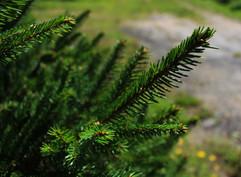 spruce close up.jpg