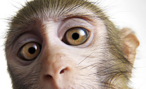 Eye-contact neurons in monkey amgydala.