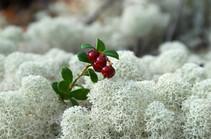 Белый мох и брусника
