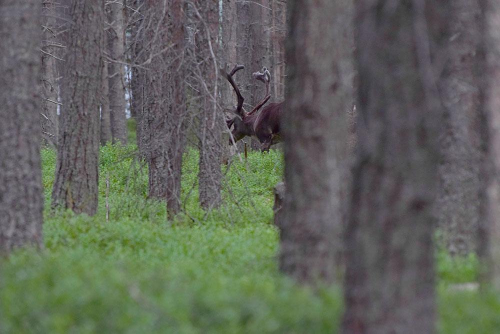 Северный-лесной-олень2