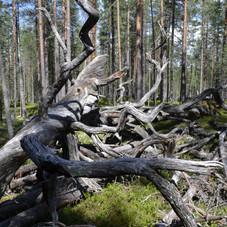 Старовозрастной лес