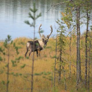 Северный лесной олень