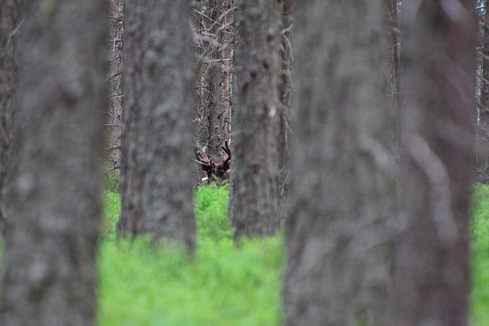 Северный-лесной-олень3
