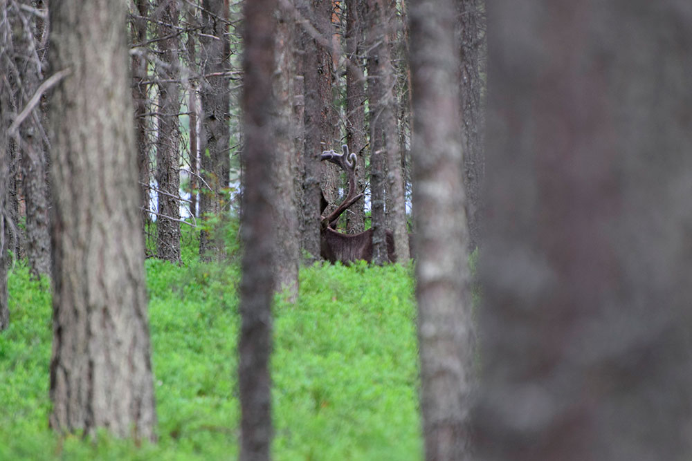 Северный-лесной-олень1