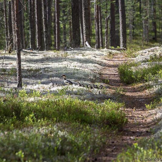 Беломошные леса