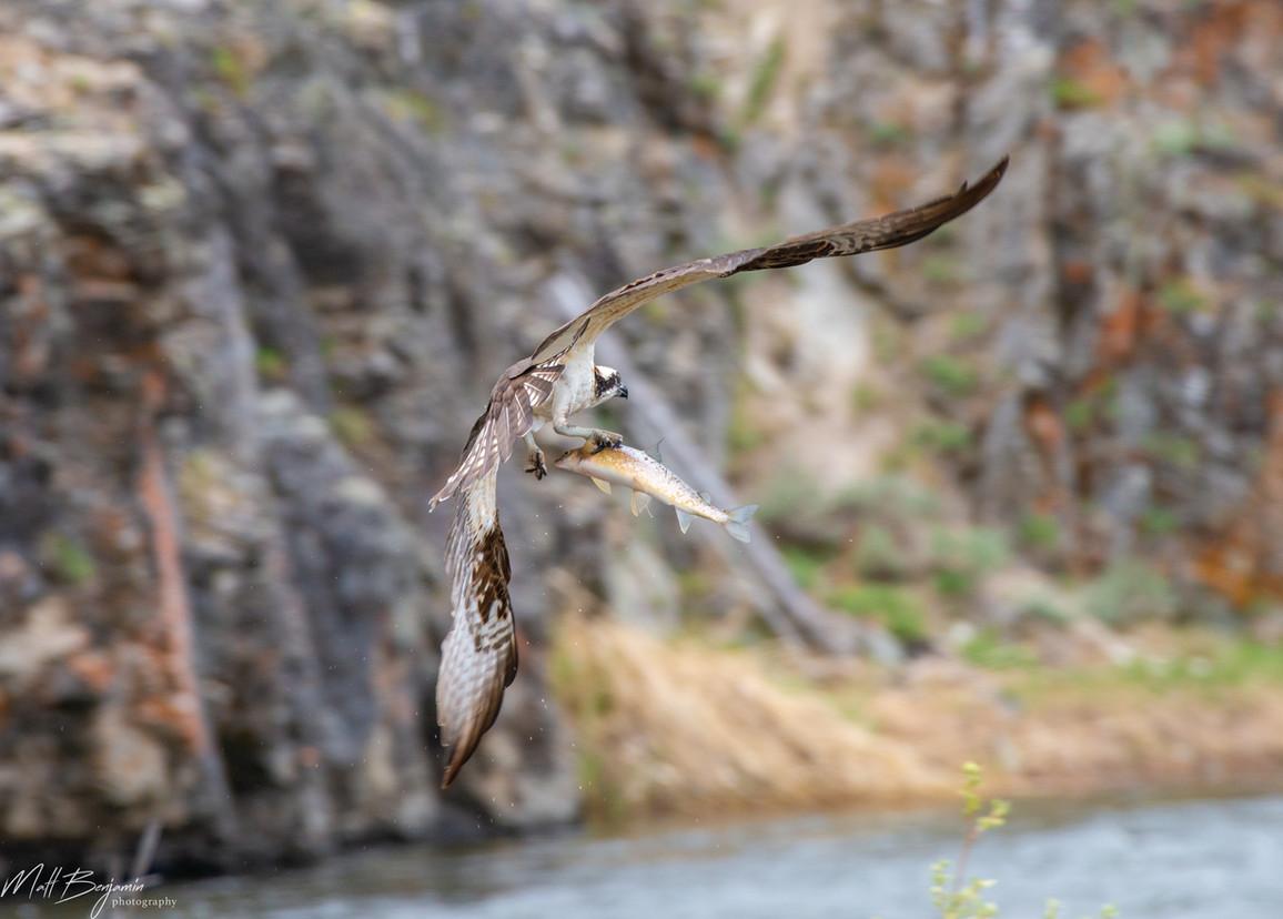 Osprey Fish4_wm.jpg