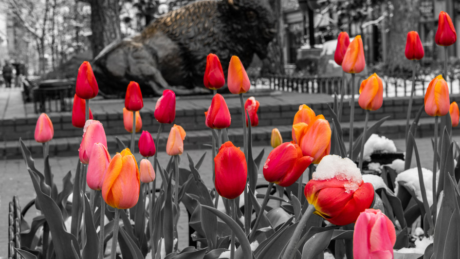 Pearl St Tulips with Buffalo_wm_web.jpg