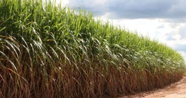Cana-de-açúcar será usada em vacina contra COVID-19