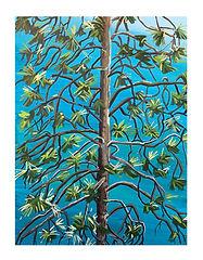 Ponderosa Pine 3.jpg