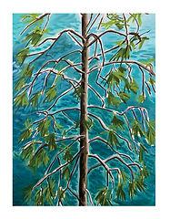 Ponderosa Pine 2.jpg