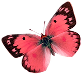 CORAL%20BUTTERFLY%20A_edited.png