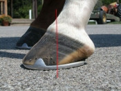 Clinical and Radiographic Examination of the Equine Foot