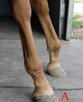 How to Construct and Apply a Shoe to Compliment a Superficial Flexor Tenotomy in the Standing Horse