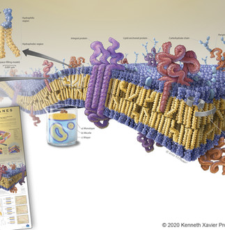 """Plasma Membranes as a """"Mosaic"""" of Proteins"""