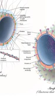 Neisseria gonorrhoeae & Streptococcus pneumoniae